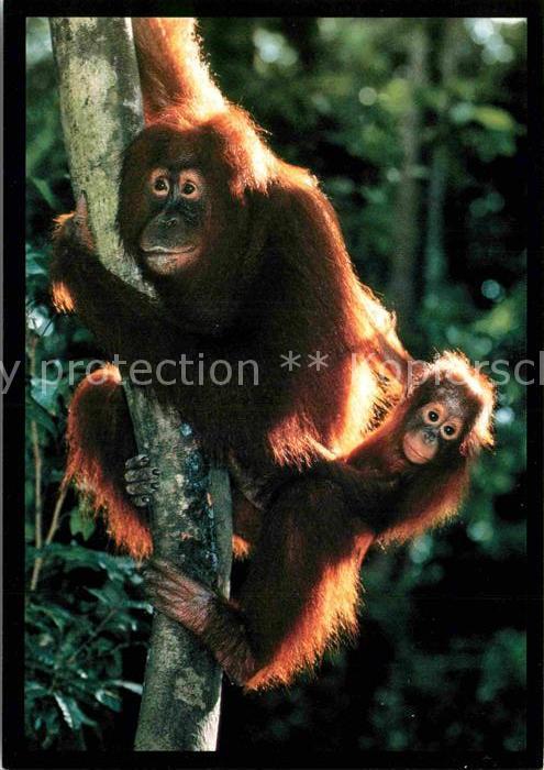 AK / Ansichtskarte Affen Orang Utan and Baby  Kat. Tiere