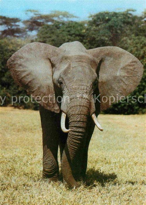 AK / Ansichtskarte Elefant Afrikanischer Steppenelefant  Kat. Tiere