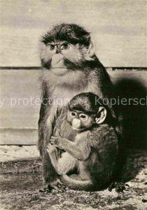 AK / Ansichtskarte Affen Weissnasenmeerkatze mit Jungem Zoo Leipzig Kat. Tiere