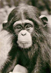 AK / Ansichtskarte Affen Schimpanse  Kat. Tiere