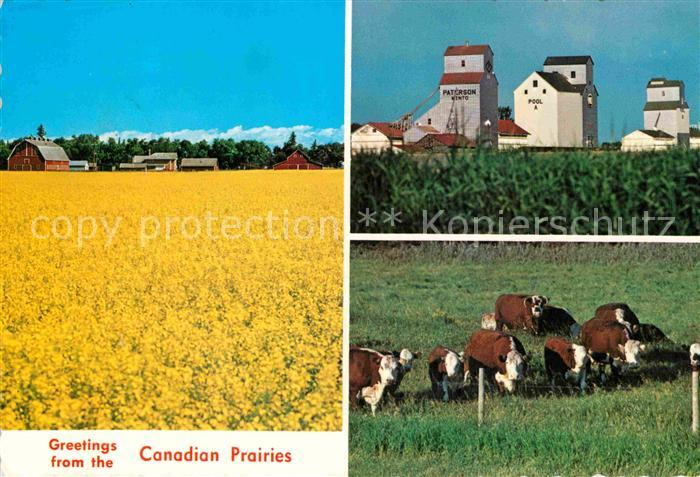 AK / Ansichtskarte Manitoba Canadian Prairies Farmstead field of rape Cows Cattle Kat. Kanada