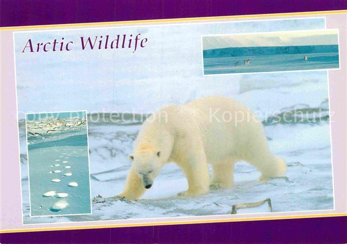 AK / Ansichtskarte Eisbaer Polar Bear Isbjorn  Kat. Tiere
