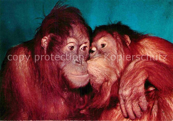 AK / Ansichtskarte Affen Orang Utans Zoo Duisburg  Kat. Tiere