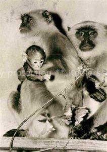AK / Ansichtskarte Affen Hulmann Affen Zoo Dresden  Kat. Tiere