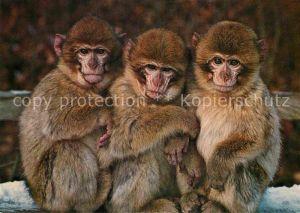 AK / Ansichtskarte Affen Berber Affen Affenberg Salem  Kat. Tiere
