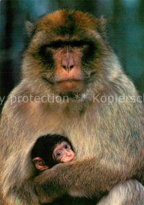 AK / Ansichtskarte Affen Berber Affen Affenberg Salem Bodensee Kat. Tiere