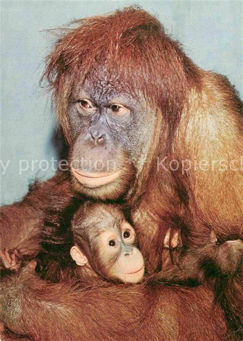 AK / Ansichtskarte Affen Orang Utan  Kat. Tiere