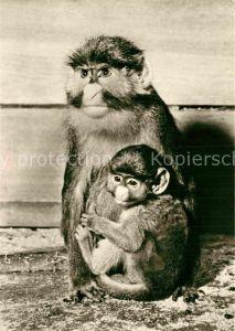 AK / Ansichtskarte Affen Weissnasenmeerkatze mit Jungem Zoo Leipzg  Kat. Tiere