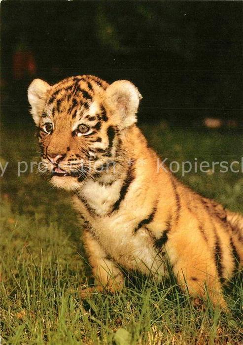 AK / Ansichtskarte Tiger Tiere Sibirischer Tiger Zoo Magdeburg Kat. Tiere