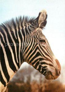 AK / Ansichtskarte Zebra Grevy Zebra Zoo Magdeburg Kat. Tiere