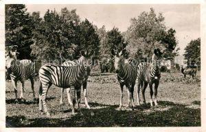 AK / Ansichtskarte Zebra Steppen Zebras Muenchen Tierpark Hellabrunn  Kat. Tiere