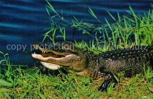 AK / Ansichtskarte Krokodile Florida Alligator Everglades  Kat. Tiere