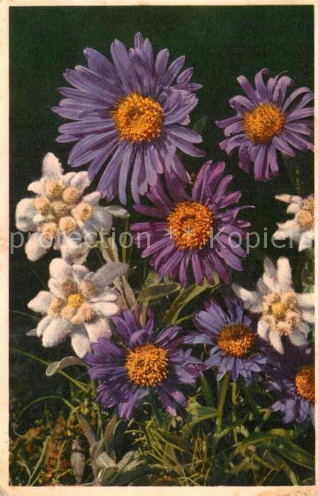AK / Ansichtskarte Edelweiss Leontopodium alpinum Etoile des Glaciers  Kat. Pflanzen