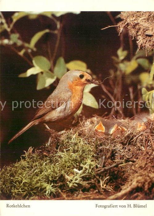 AK / Ansichtskarte Voegel Rotkehlchen Kat. Tiere