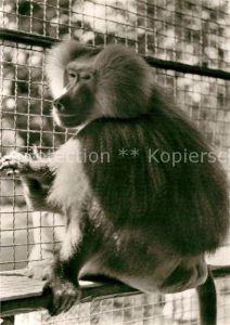 AK / Ansichtskarte Affen Mantelpavian Tierpark Landau Pfalz  Kat. Tiere