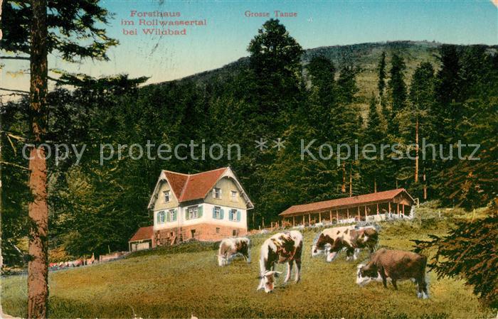 AK / Ansichtskarte Bad Wildbad Forsthaus im Rollwassertal Grosse Tanne Viehweide Kuehe Kat. Bad Wildbad