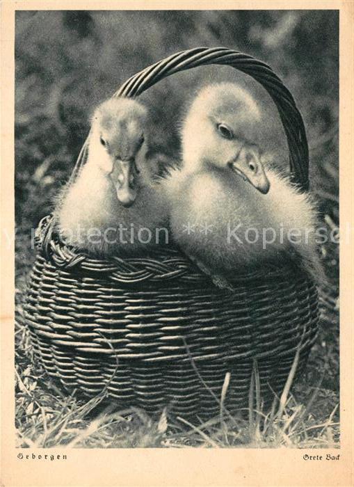 AK / Ansichtskarte Enten Kueken  Kat. Tiere