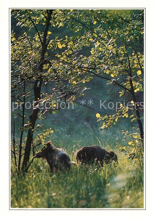 AK / Ansichtskarte Schweine Wildschweine Wild Boars Kat. Tiere