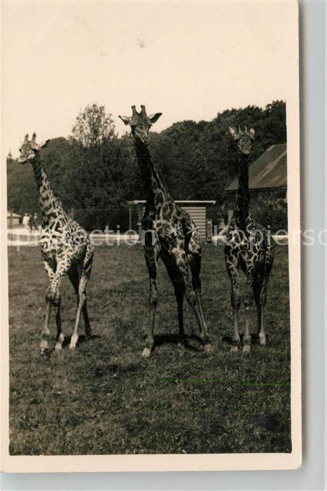 AK / Ansichtskarte Giraffe Tierpark Hellabrunn Muenchen Propagandajahr  Giraffe