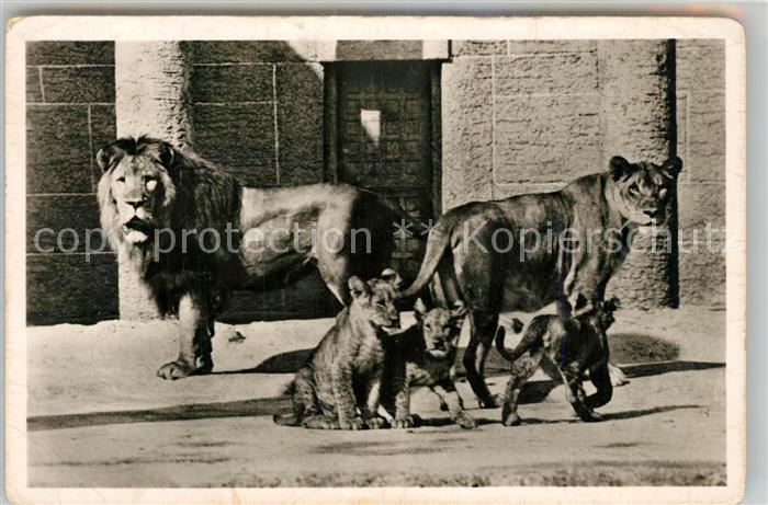 AK / Ansichtskarte Zoo Muenchen Tierpark Hellabrunn Loewenfamilie Zoo