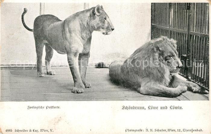AK / Ansichtskarte Loewe Schoenbrunn Loewe und Loewin Zoo Loewe