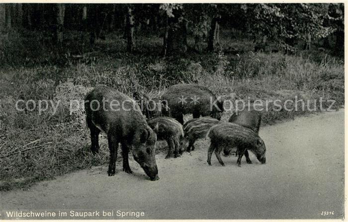AK / Ansichtskarte Schweine Wildschweine Saupark Springe  Schweine