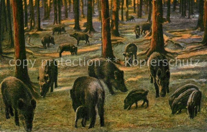 AK / Ansichtskarte Schweine Wildschweine Schweine