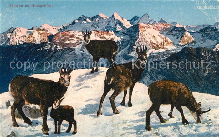 AK / Ansichtskarte Gemse Hochgebirge Gemse