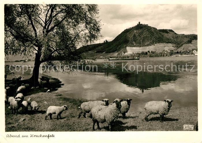 AK / Ansichtskarte Schafe Drachenfels Foto Kessel Nr. 1229 Schafe
