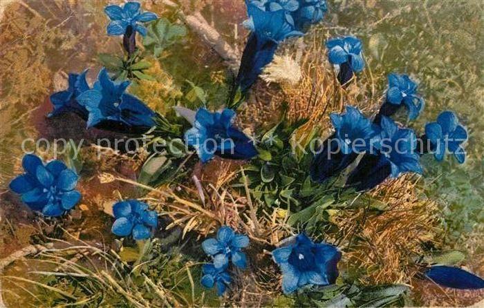 AK / Ansichtskarte Blumen Kochscher Enzian Gentiana Acaulis