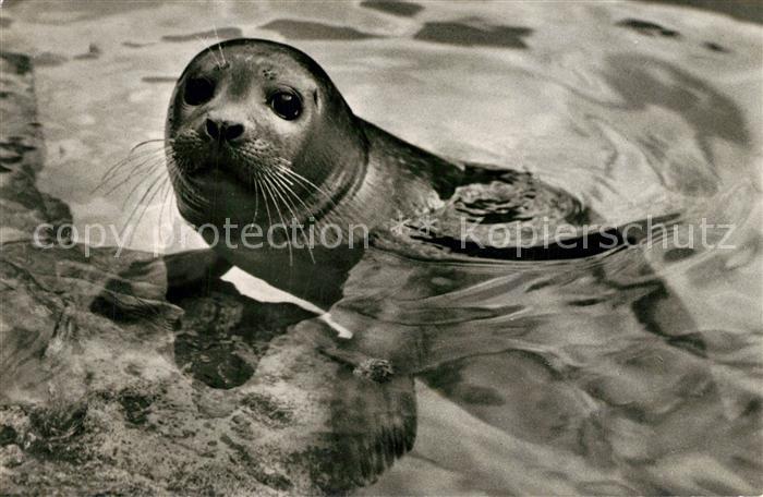 AK / Ansichtskarte Seehunde_Robben Nordseehund Zoo Basel