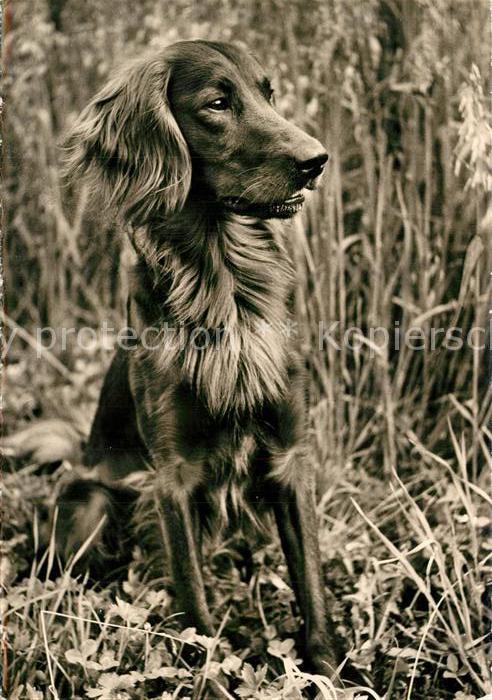 AK / Ansichtskarte Hunde Irish Setter