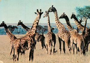 AK / Ansichtskarte Giraffe