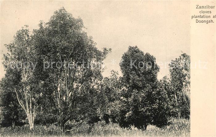 AK / Ansichtskarte Zanzibar Cloves plantation at Doongah Zanzibar
