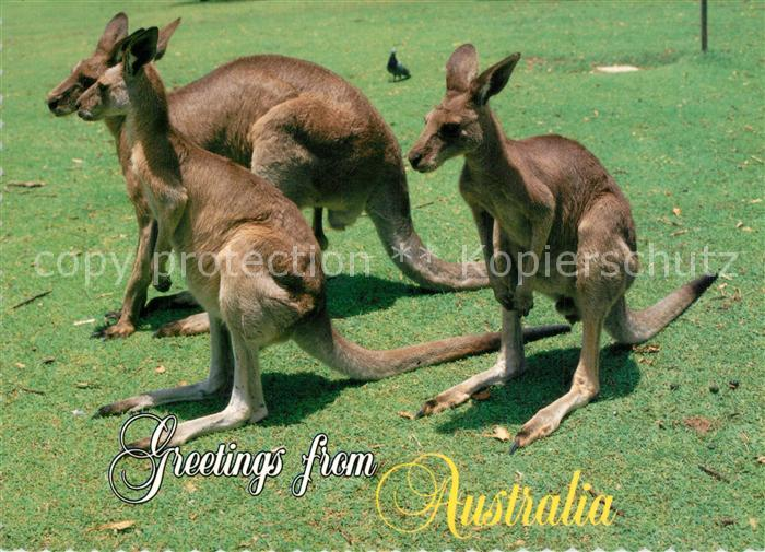 AK / Ansichtskarte Australien Kaengurus Australien