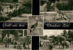 AK / Ansichtskarte Zoo Dresden Giraffe Elefant Zebra Kamel