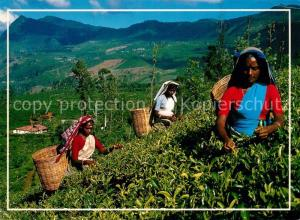 AK / Ansichtskarte Sri_Lanka Teeplarntage Teepfluecke Sri_Lanka