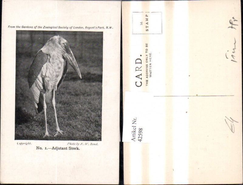 42598,Tiere Storch Störche Adjutant Stork Gardens of Zoological Society of London