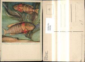 184386,Künstler Ak Chilinus Fasciatus Fisch Fische Der bandirte Brassem