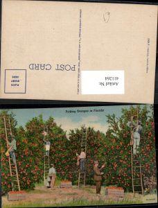 411264,Picking Oranges i. Florida Orangen Ernte Arbeiter a. Leiter Früchte Obst
