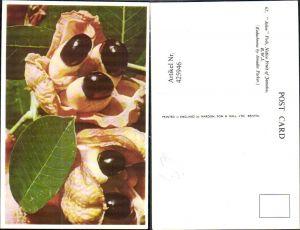 425946,Ackee Pods Native Fruit of Jamaica Frücht Obst