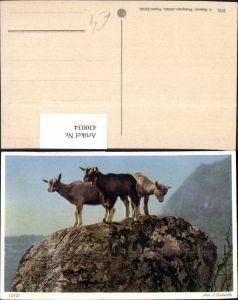 430034,Tiere Gitzi Ziegen auf Felsen