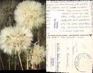 560205,Blumen Löwenzahn Pusteblume Marienkäfer
