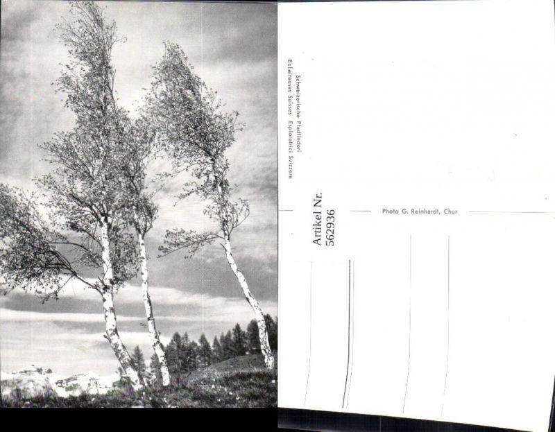 562936,Birken Birke Bäume Baum Schweizerische Pfadfinderinnen