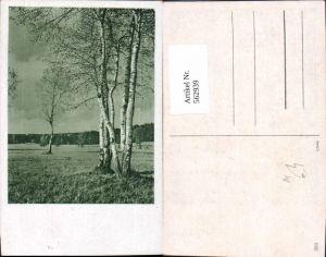 562939,Birke Birken Bäume Baum