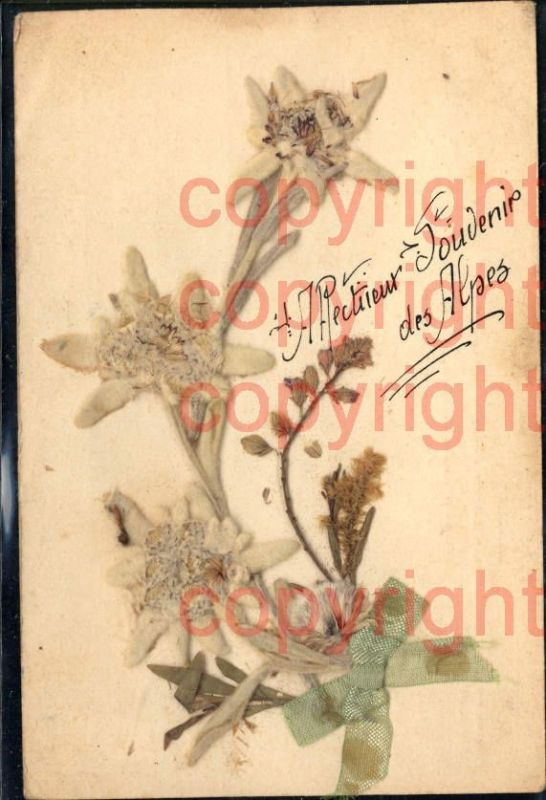 465895,Material Karte Echtes Edelweiß Schleife Alpenflora