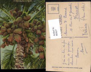 602627,A Cocoanut Tree in Florida Kokosnuss Früchte Obst Kokospalme Baum