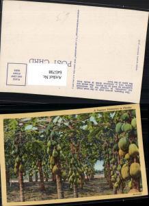 645798,Florida Papaya Plantation Plantage