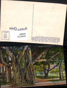 645800,Banyan Tree in Florida Baum