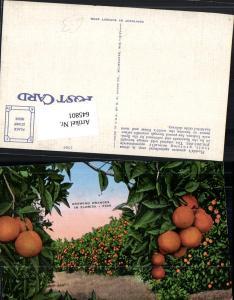 645801,Florida Growing Oranges Orangen Plantagen